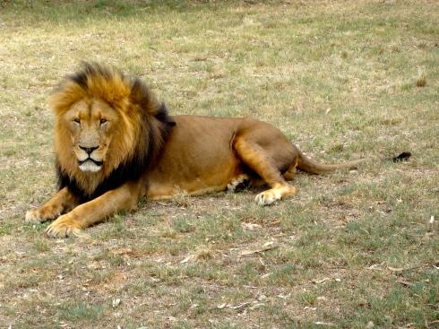 scarface lion