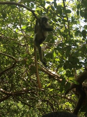 jozeni monkey